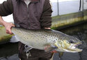 """FILE - In this April 2, 2012 file photo, a 4-year-old Atlantic salmon is held at the National Fish Hatchery in Nashua, N.H. A group of environmental organizations filed court papers Thursday, Oct. 21, 2021 to try to halt operations at Maine dams to protect salmon. The groups said in a statement that the dams """"create an impenetrable barrier that blocks endangered Atlantic salmon from traveling from the Gulf of Maine to prime spawning habitat on the Sandy River."""" (AP Photo/Jim Cole, File)"""