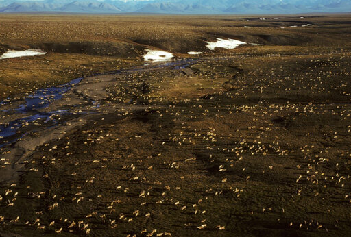 FILE - This undated aerial file photo provided by U.S. Fish and Wildlife Service shows a herd of caribou on the Arctic National Wildlife Refuge in northeast Alaska. President Joe Biden on Wednesday, Jan. 20, 2021, signaled plans to place a temporary moratorium on oil and gas lease activities in Alaska's Arctic National Wildlife Refuge after the Trump administration issued leases in a remote, rugged area considered sacred by the Indigenous Gwich'in. (U.S. Fish and Wildlife Service via AP, File)